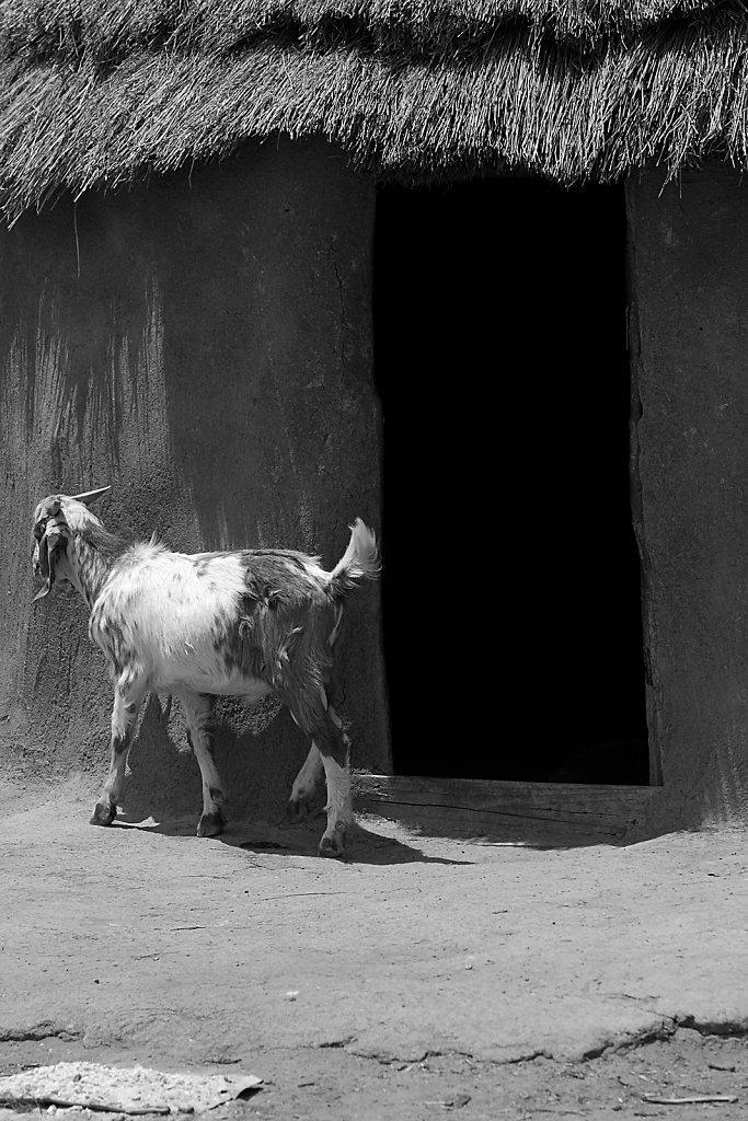 Goat in Himba village